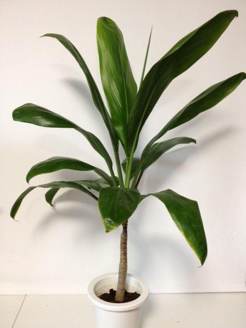 ハワイ情緒溢れる鉢植えのティーリーフの木。最近人気急上昇中です! →【超レアなハワイの植物】ティーリーフの木 (5号鉢)【楽天市場】