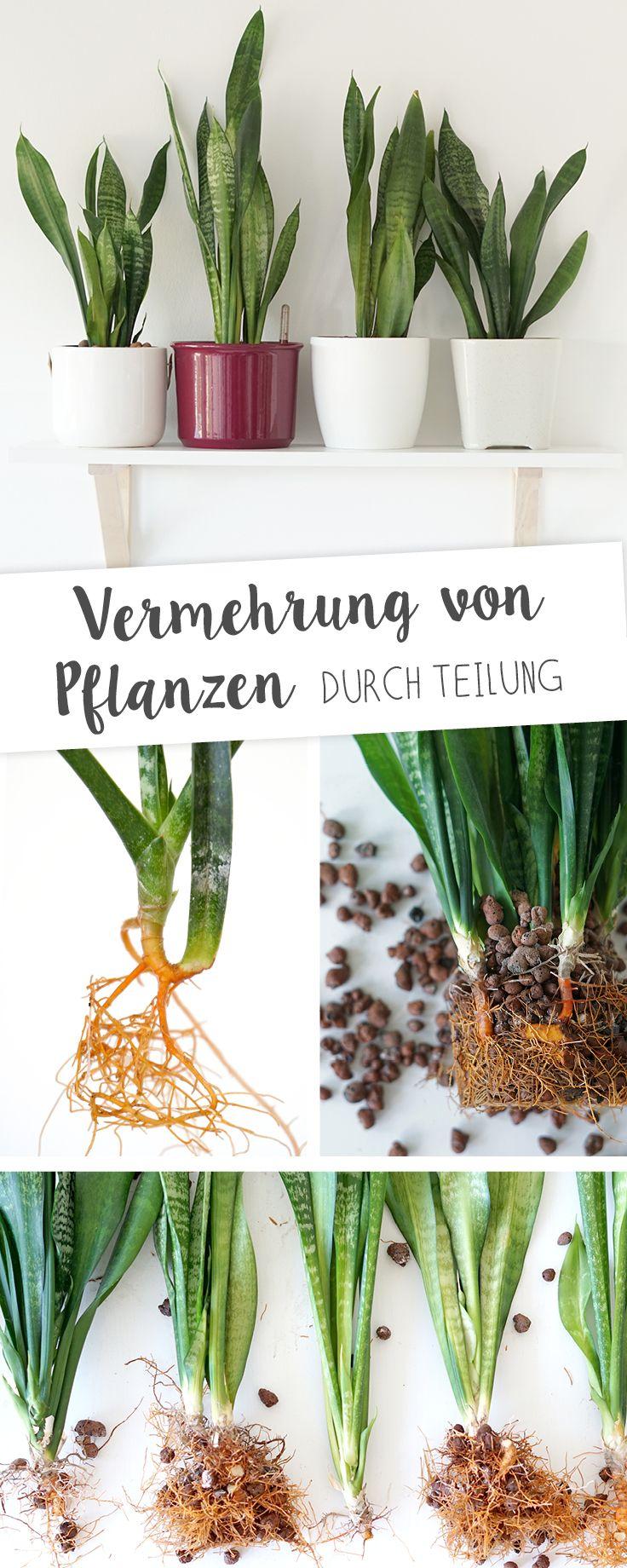 Vermehrung von Pflanzen, wie Sansevieria, Calathea oder Grünlilie durch Teilung von Rhizomen oder Wurzelteilung auf www.aentschiesblog.com
