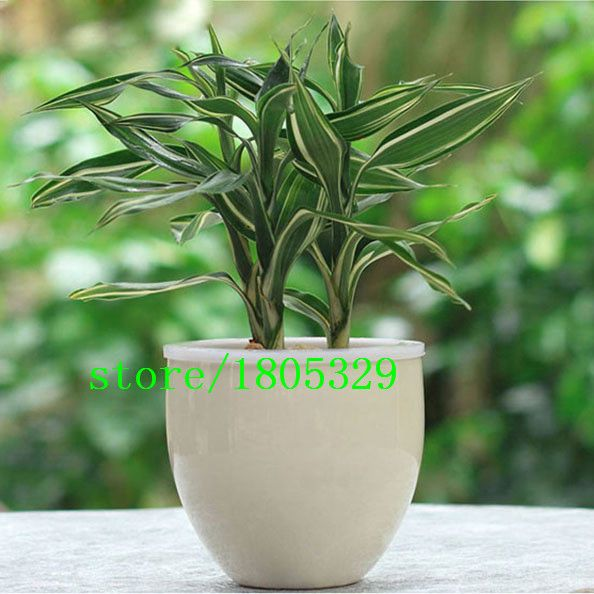 Rare Silver Heart Lucky Bamboo Seeds Absorb Dust Tree Seeds Anti Radiation Dracaena DIY for Home & Garden 50PCS