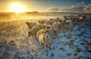 Swaledale, North Yorkshire, UK A flock of sheep huddles together while snow spindrift is whipped up by strong winds