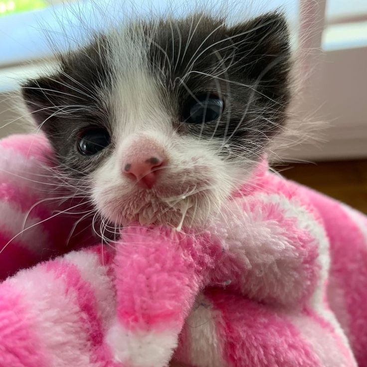 Kitten Size Of A Newborn Was Found On The Streets Alone But He Never Gave Up Love Meow Kitten Kitten Formula Tuxedo Kitten
