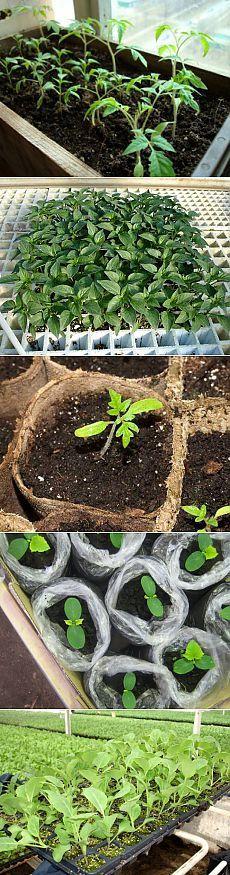 когда сажать рассаду помидор, перца и других овощных культур | Буду Всё Знать – полезные советы по домоводству