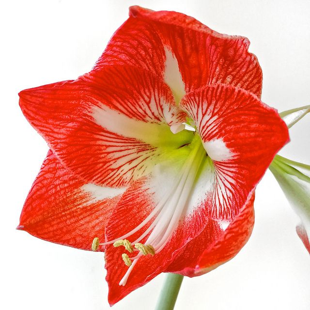 A little spring in the winter – how to grow an amaryllis