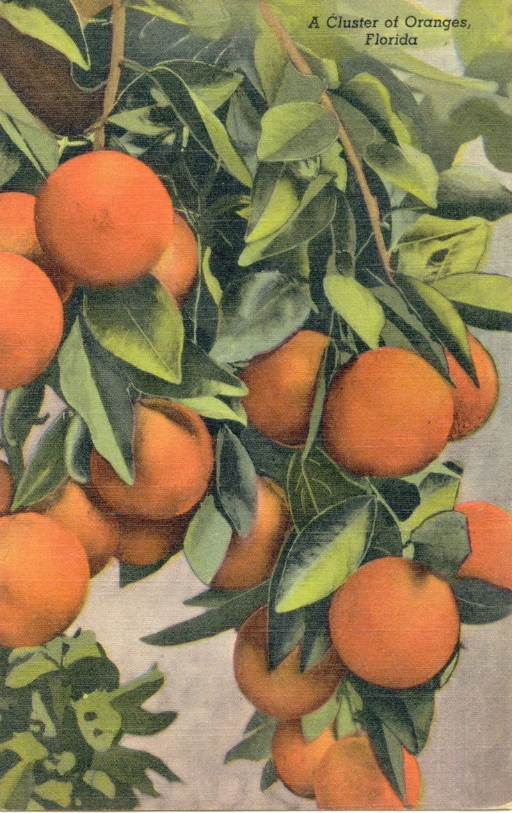 Florida Oranges~Old Postcard from the 1950's