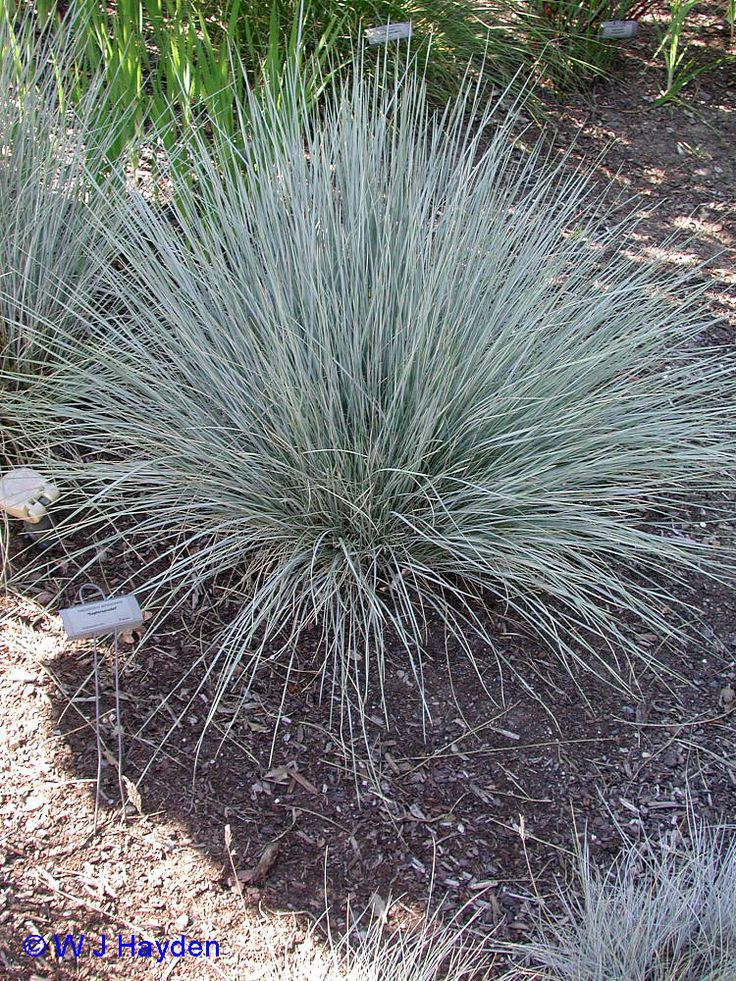 Blue fescue 39 elijah blue 39 festuca ovina 8 tall for Tall ornamental grass plants