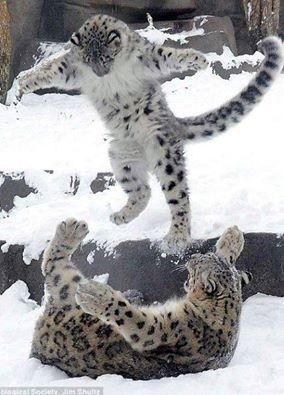 Beautiful Snow Leopards at play. | Should there be snow leopards? Or snow leopard-like felines?