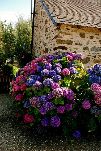 Roze en paarse Hortensias