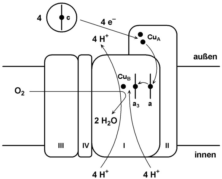 Komplex IV - Cytochrome c oxidase - Wikipedia