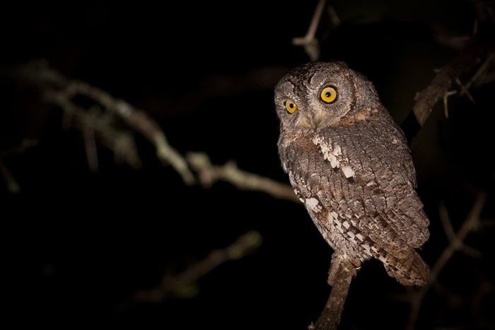 """A curious Scops Owl. The smallest owls found in Southern Africa, Scops Owls can often be heard calling to each other with their soft 'Prrrrrrp"""". Photograph by James Tyrrell."""