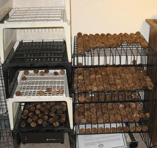 Harvesting & cleaning black walnuts
