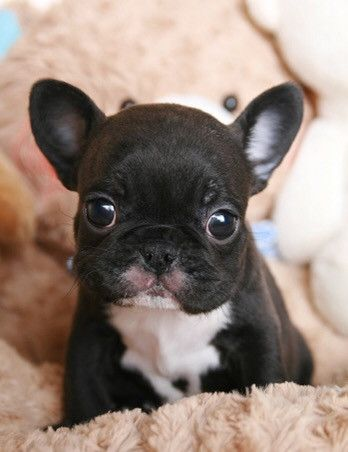 Adorable Lil Asher ~ Teacup Tuxedo French Bulldog Baby Boy Available. Darling lil face and beautiful Coat! Tuxedo micro mini Frenchie. He is so handsome and a rare, luxurious find!         #frenchie #poshpocketpups #teacuppup #luxury   http://www.poshpocketpups.com/