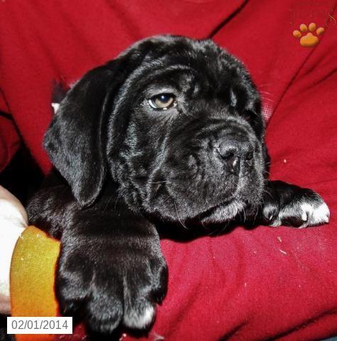Cane Corso (Italian Mastiff) Puppy for Sale