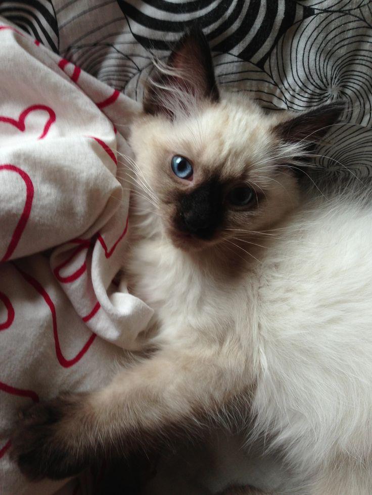 Bruce, The cutest ragdoll kitten ragdoll, persian, norwegian forest cat , cutie, pet