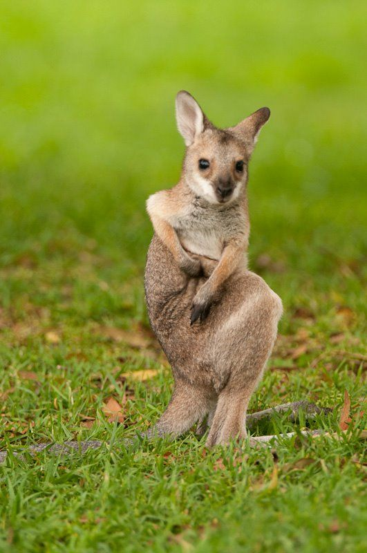 Wallaby Joey Scratching