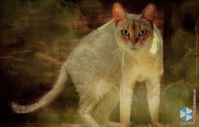 Best 25+ Chausie cat ideas on Pinterest