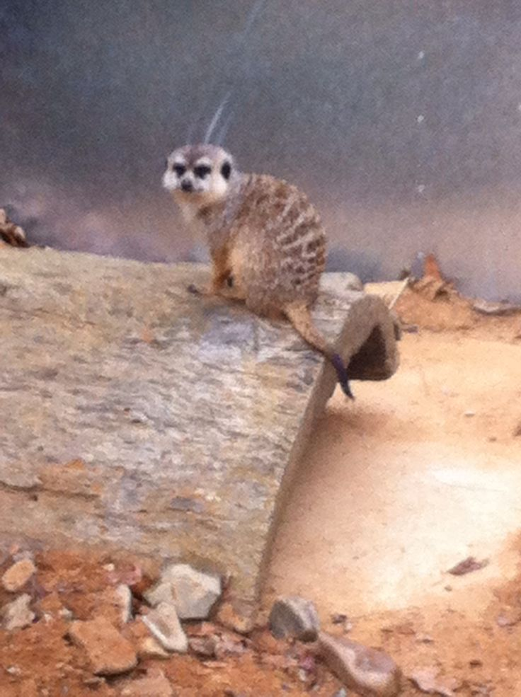 Meerkat at Canberra Zoo.