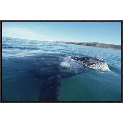 East Urban Home 'Southern Right Whale at Water Surface, Peninsula Valdez, Argentina' Photographic Print Size: