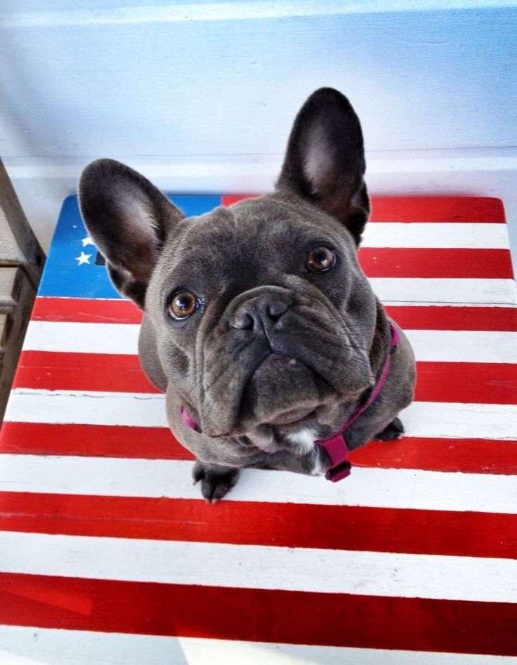 17 best images about dog french bulldog on pinterest barber chair red christmas and french. Black Bedroom Furniture Sets. Home Design Ideas