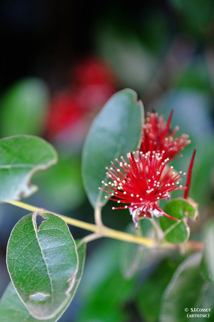 Christmas on the horizon... why not share another NZ icon, this is in fact a Feijoa blossom (not the native Pohutukawa) taken  the typical blokes shed and backyard spirit, an old lens, the Tamron SP 90mm.