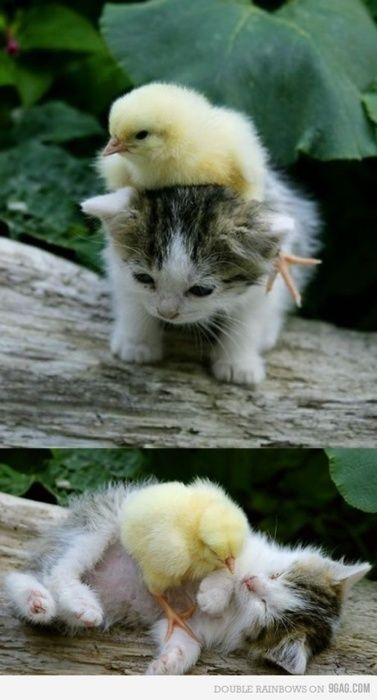 I don't usually repin all the cute baby animals, but come on!!!!!! duckie +kitten!
