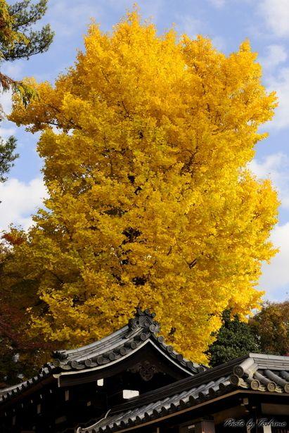 Great Ginkgo tree, Tamuke-yama Hachimangu Shrine, Nara, Japan