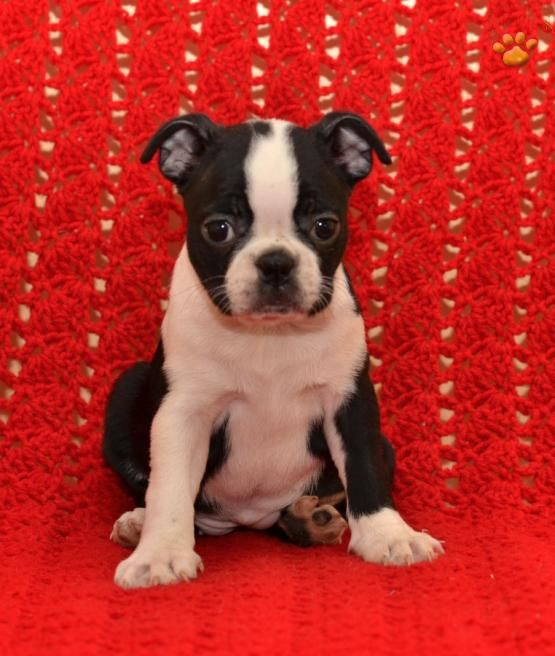 Sally - Boston Terrier Puppy for Sale in Ronks, PA | Lancaster Puppies