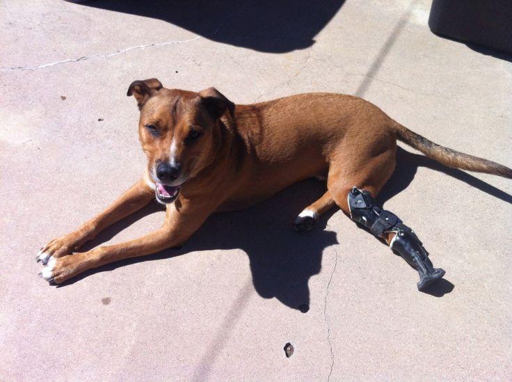 Bulletproof enjoying his OrthoPets Below Tarsus Prosthetic Device.