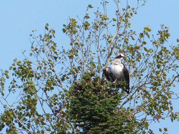 http://faaxaal.forumactif.com/t4782-photos-de-pandionidae-balbuzard-pecheur-pandion-haliaetus-osprey-fish-eagle-sea-hawk-rriver-hawk-fish-hawk-balbusard