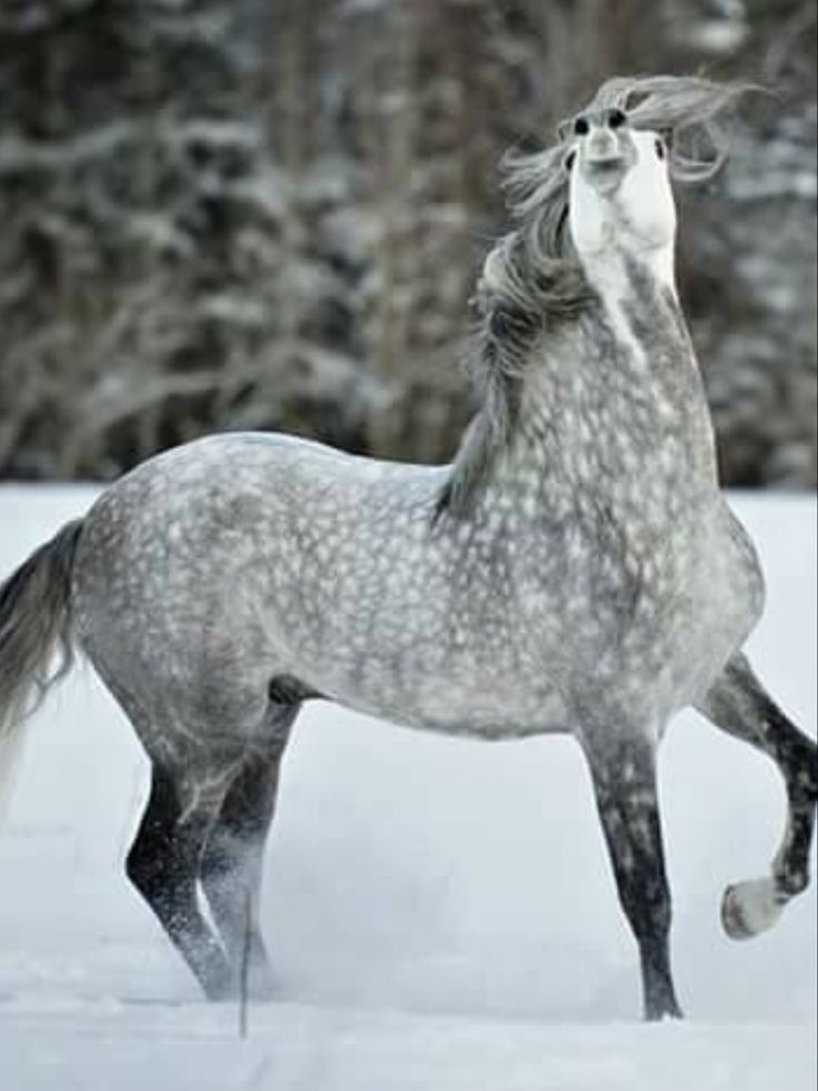 Beautiful Dapple grey horse with hus nose thrown up spirited in the air. Horse prancing in the snow.