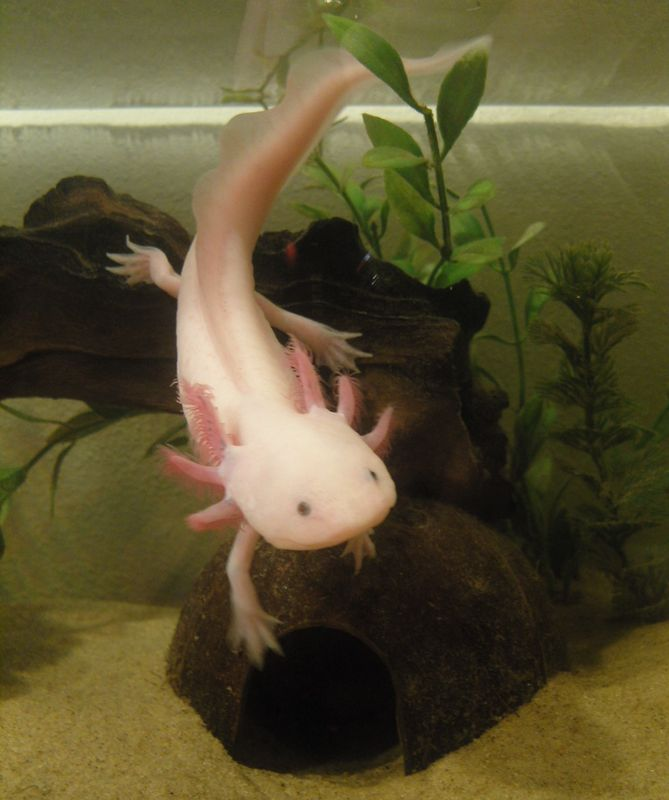 Axolotl Care Sheet For Beginners Axolotls are commonly known as Mexican walking fish but in fact they are not a fish at all. Axolotls are a salamander and are a part of the amphibian family just like...