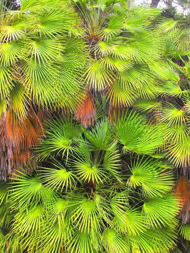 Giant Fan Palm, Royal Botanic Gardens, Melbourne