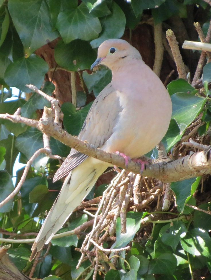 mourning dove, a duo we see every year :)