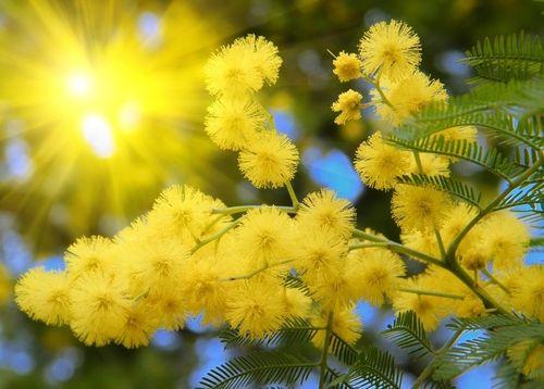 84222662_mimoza.jpg (500×358)
