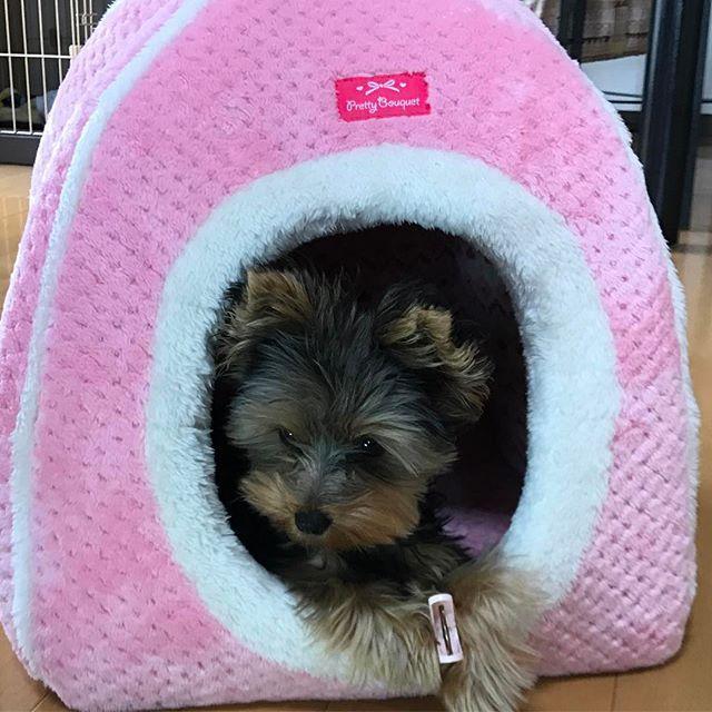 #めはり#めはりちゃん#mehari#meharichan#子犬#puppy#ヨークシャーテリア#ヨーキー#可愛い#cute#like#love#親バカ#大切#大好き#生後5ヶ月#愛犬#わんちゃん#わんこ#baby#やんちゃな子犬#やんちゃ#いたずら#healing#お家