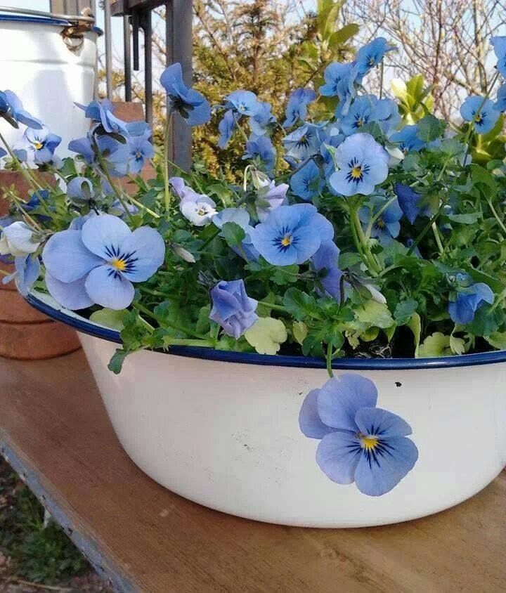Pansies in a vintage white pot