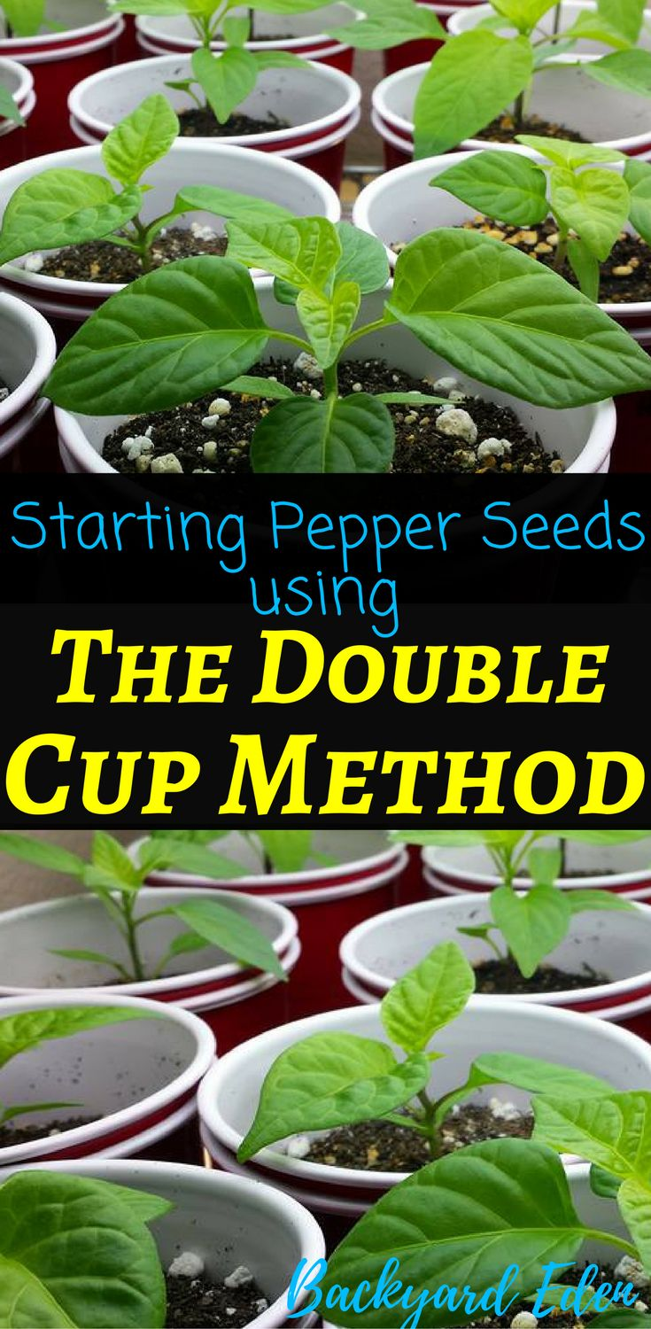 Starting Pepper Seeds using The Double Cup Method   Starting Pepper Seeds   Starting Seeds Indoors   Starting Seeds Indoors for beginners   How to start seeds indoors   Starting Vegetable Seeds Indoors   Seed Starting Tips   Backyard-Eden.com