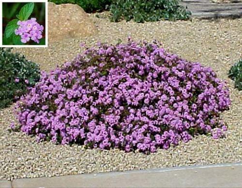 Purple Lantana / list of plants that grow well in the Phoenix area