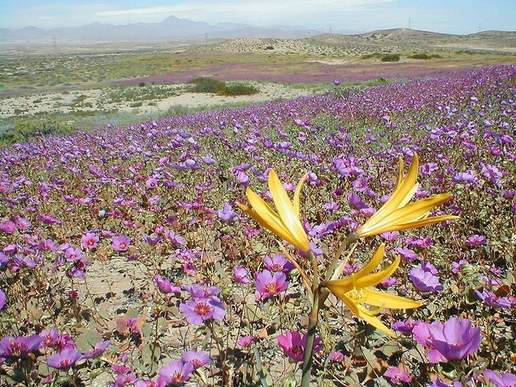 El desierto florido es un fenómeno climático que se produce en el Desierto de Atacama, Chile. El fenómeno consiste en la aparición de una gran diversidad de flores entre los meses de septiembre y noviembre,...El fenómeno ocurre cuando las lluvias hacen que gran cantidad de semillas y bulbos que se encontraban en estado de latencia germinen al llegar la primavera, acompañadas de la proliferación de insectos, aves y especies de lagartos pequeños... desde...Vallenar, hasta...Copiapó…