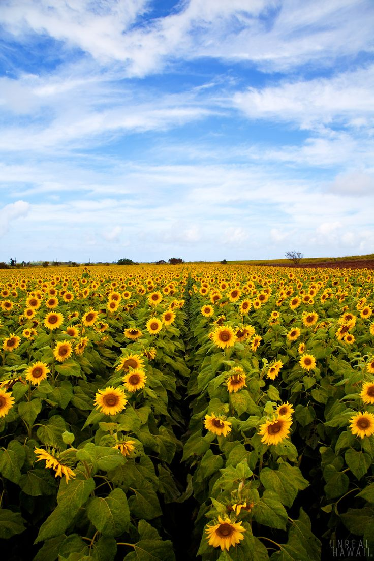 Oahu Sunflower Fields  Drivers passing by a stretch of Farrington Highway in Waialua on Oahu's North Shore likely have seen a field of sunflowers reminiscent of a Van Gogh painting.    Pioneer Hi-Bred International of Iowa, a biotech seed company, planted the bright yellow sunflowers on 85 acres for a three-month period this year as part of its operations.