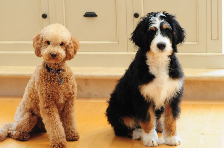 1000 images about bernedoodles a head to tail guide on pinterest