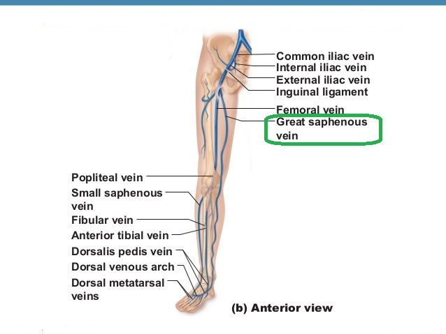 Image result for great saphenous vein