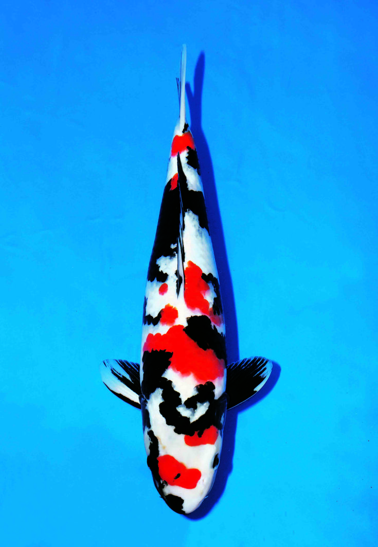 1000 images about koi fish showa on pinterest circles for Koi fish store