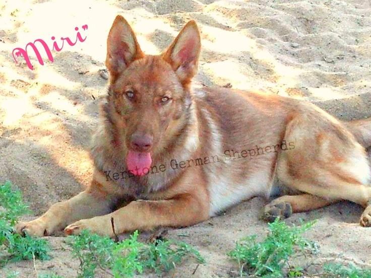 "Liver Sable AKC German Shepherd puppy  ""Chocolate""  Yummm!  Kerstone Kennels #animals"