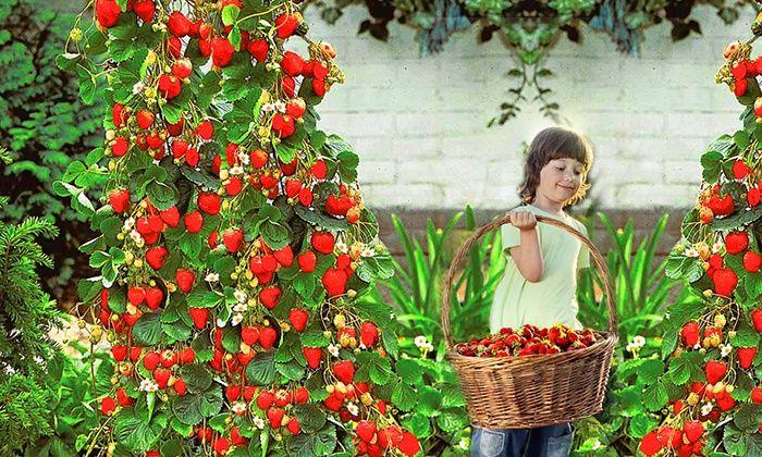 les 25 meilleures id es concernant fraisier grimpant sur pinterest botanique salsa de fraises. Black Bedroom Furniture Sets. Home Design Ideas