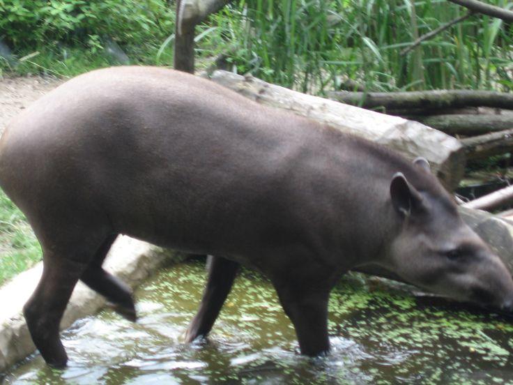 O tapir ... ele nadou.