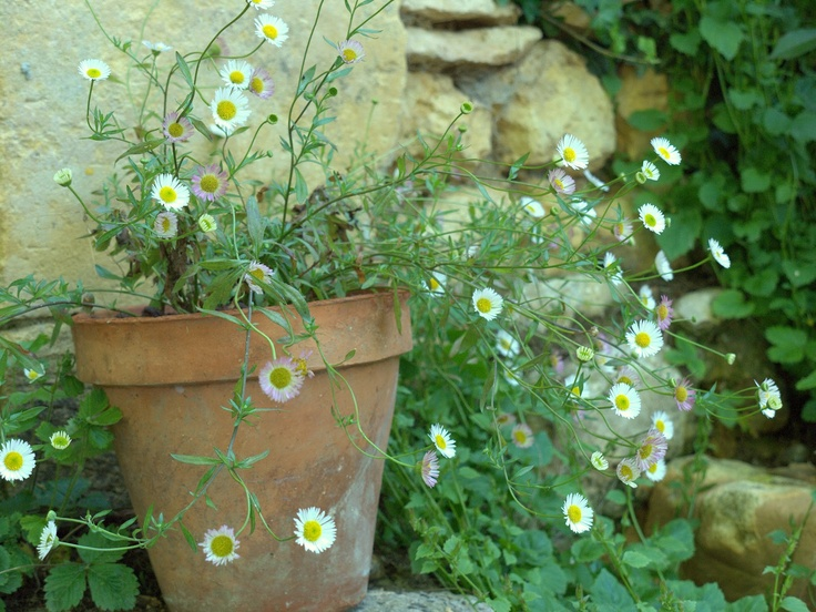 Fleabane | Our French Garden In The Beautiful Dordogne: Walkabout