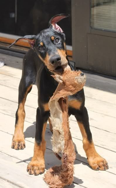 2012 Dobermantalk Calendar August Entries (Goofy Dobes) - Doberman Forum : Doberman Breed Dog Forums