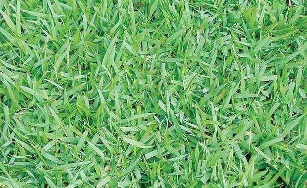 Esmeralda  Zoysia japonica  É o exemplar mais comercializado, do sul ao nordeste do país. Suas folhas médias e estreitas, na cor que o nomeia, enraízam com facilidade, por isso são excelentes para controle de erosão. É sugerida para áreas residenciais  (Foto: Evelyn Müller)