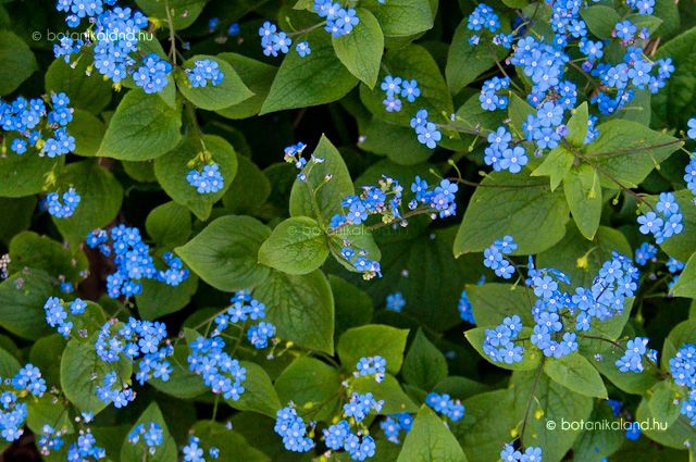 A kaukázusi-nefelejcs igazi tavaszi virág, az ébredő természet egyik legüdébb és legelbűvölőbb jelensége.