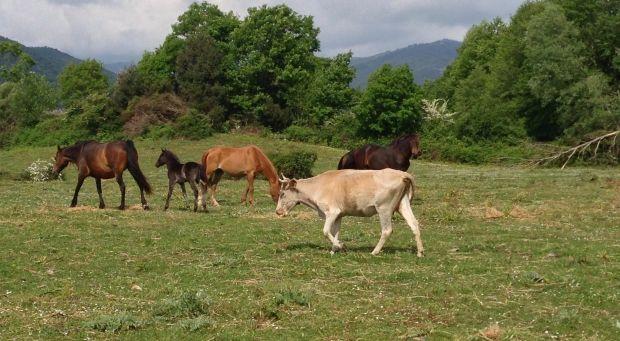 Cavalli selvatici e mucche #CorsicaVivilaAdesso